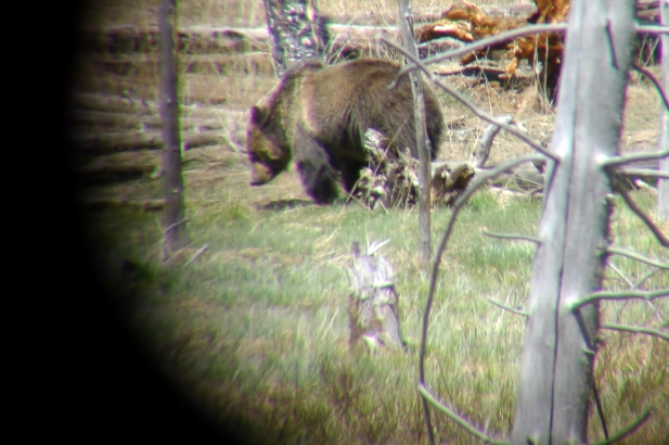 The best way to see a grizzly bear- through the scope! Yellowstone National Park, WY