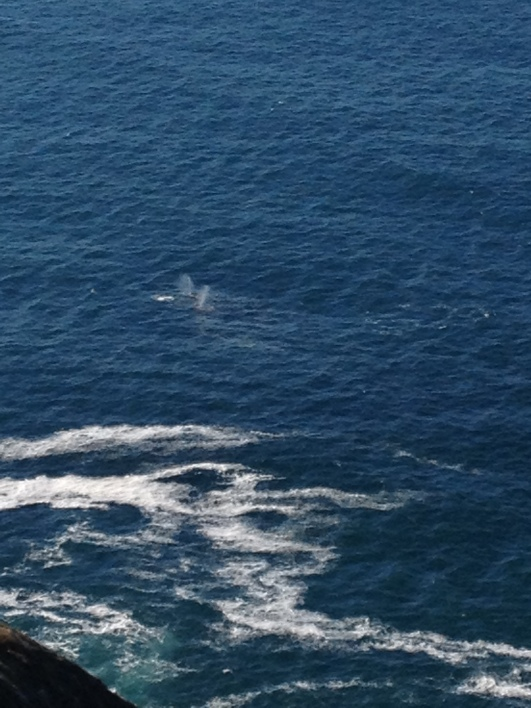 Gray whale migration, Point Reyes, CA