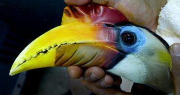 Wrinkled Hornbill data collection, Singapore